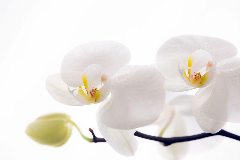 白 胡蝶蘭