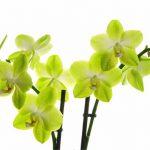 珍しいグリーンの胡蝶蘭を特徴やオススメのシーンまで徹底解説!