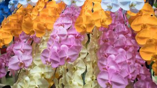胡蝶蘭の花言葉ってなに?色別の意味と最適なシチュエーションを紹介!