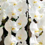 胡蝶蘭はクローンで作られている!?綺麗な胡蝶蘭が流通している理由