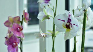 胡蝶蘭をクリップで美しく見せる方法とポイントや注意点