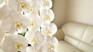 胡蝶蘭を自宅での育てるときの環境と注意点、枯れたときの手入れ方法を徹底解説