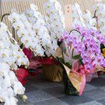 創立記念やお祝いに胡蝶蘭を贈るなら?贈る時のマナー・おすすめまとめ
