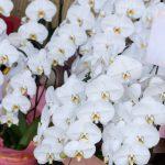 胡蝶蘭の生産地はどこが有名?産地直送の胡蝶蘭を手に入れる方法を紹介!