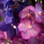 胡蝶蘭の仲間の洋ランの種類と正しい管理方法を知ろう!