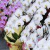 胡蝶蘭の特徴を知ろう!基本情報と育て方について