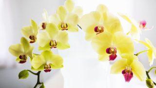 黄色の花びらが目を引く、胡蝶蘭のゴールデンエイジはお祝いにぴったり