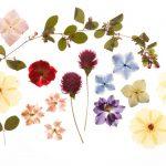 自宅でカンタン胡蝶蘭の押し花の作り方