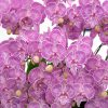 リトルゼブラ胡蝶蘭ってどんな品種?特徴から似ている種類まで徹底解説