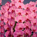 お祝いに贈る胡蝶蘭の本数には意味がある!値段やマナーも丸ごと紹介!