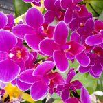 濃い紫色の胡蝶蘭は珍しい?種類や花言葉まとめ