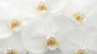 お悔やみの胡蝶蘭の値段は?花言葉や贈り方のマナーを紹介!