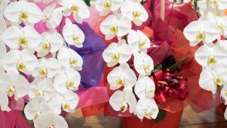 胡蝶蘭を用途から選んで贈るときのマナーや相場のまとめ