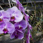 水色がさわやかで可愛らしい胡蝶蘭「マリンブルー」とは?花言葉やおすすめのシーンをご紹介
