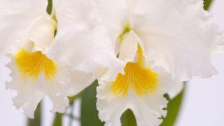 赤平市で胡蝶蘭を買うなら?おすすめショップ・通販サイトをご紹介