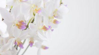 胡蝶蘭をお祝いに贈ろう!ギフトで選ばれる理由と注意点をご紹介