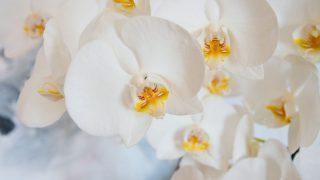 初盆は胡蝶蘭を贈ろう!贈るときのマナーとおすすめ購入方法をご紹介