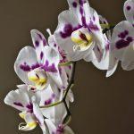胡蝶蘭を安く買うには?通販サイトの選び方や注意点をご紹介