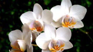 胡蝶蘭を通販で買うなら産地直送を選ぼう!メリットおすすめのショップをご紹介