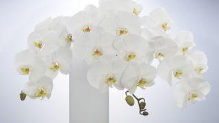 胡蝶蘭をプレゼントしよう!おすすめのシーンや注意点をご紹介
