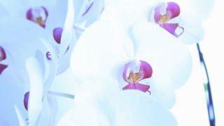 胡蝶蘭の花が終わったらどうする?二度咲きの方法や処分方法について